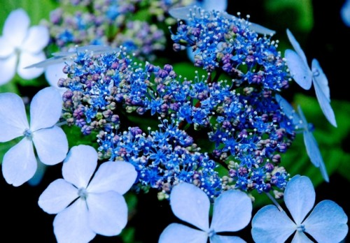 Amazingly Blue Lace Hydrangea. Photo by Suzi Beber.