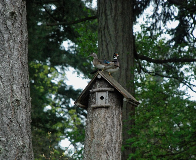 Wood Ducks -- outside the bedroom window -- This is the birdhouse that Tommy made from a tree that was partially cut down by Saanich. Photo by Suzi Beber.