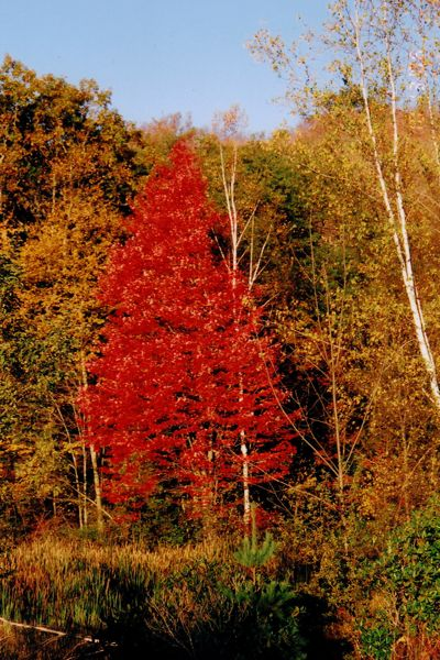 Luminous Red Tree at Snow Farm