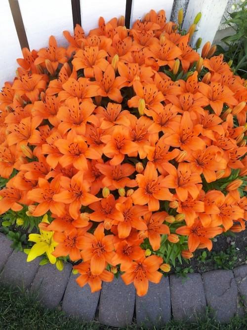 Orange Lillies by Ruth Dupuit.