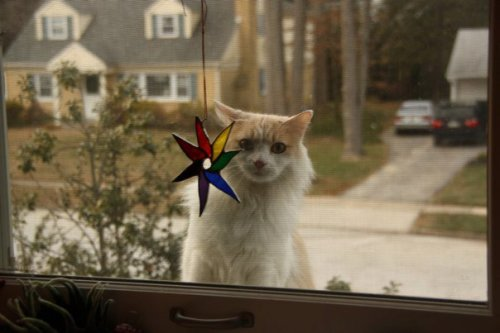 Rainbow Starflower with Fluffy Client Photo