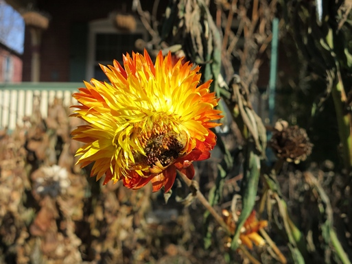 Strawflower: Hope in Orange