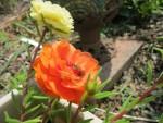 Pollinators and Portulaca in the Garden of Nutmeg Designs.