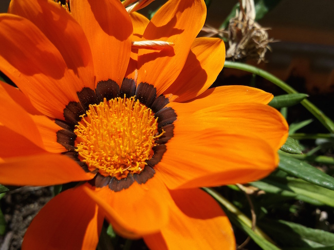 Gazania from the Garden of Nutmeg Designs